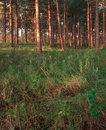 Forest With Pinetrees. Trunks And Meadow. Royalty Free Stock Images - 27488719