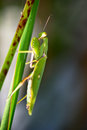 Mantis Royalty Free Stock Images - 27499859