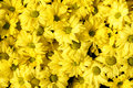 Yellow Daisy Flower,background Of The Flowers Royalty Free Stock Image - 27504476
