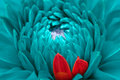Turquoise Fantasy Dahlia And Red Petals Close-Up Stock Photos - 27504733