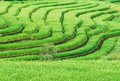 Green Terraced Rice Field Stock Photography - 27506842
