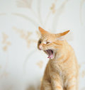 Young Beautiful Ginger Cat Yawning Royalty Free Stock Photo - 27519795