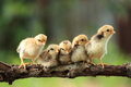 Five Of Cute Chicks Stock Photos - 27533423