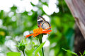 Butterfly On A Mexican Sunflower Royalty Free Stock Photography - 27534517