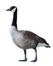 Canadian Goose Stock Photo - 27540490