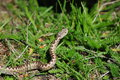 Horned Viper Royalty Free Stock Photography - 27559277