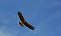 Harris Hawk Flying Stock Images - 27559974