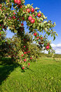 Apple Tree Royalty Free Stock Photos - 27576588