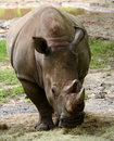 Rhinoceros Front View Stock Photo - 27597290