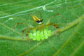 Green Spider With Eggs Stock Image - 27597651