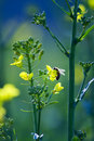 Bee On A Golden Canola Flower Stock Photography - 2765042