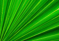Palm Tree Leaf Closeup Royalty Free Stock Photo - 27600245