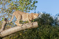 Cheetah Crouching On A Tree Branch Royalty Free Stock Images - 27625509