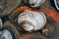 Mussel Royalty Free Stock Photo - 27632495
