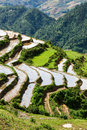 Rice Field Terraces. Near Sapa, Vietnam Royalty Free Stock Photo - 27637755