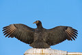 Black Vulture Stock Images - 27644124