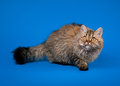 Selkirk Rex Cat Royalty Free Stock Photography - 27646217