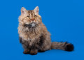 Selkirk Rex Cat Royalty Free Stock Images - 27646429