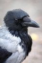 Hooded Crow Royalty Free Stock Photo - 27654005