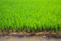 Green Rice Field Royalty Free Stock Image - 27671816