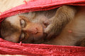 Sleeping Monkey Stock Photos - 27690023