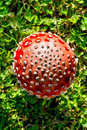Toadstool - Fly Agaric Royalty Free Stock Image - 27691256