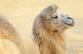 Camel Stock Photos - 27692293