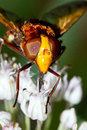 Hornet Mimic Hoverfly Close Up Royalty Free Stock Photos - 27695408