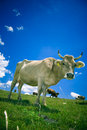 Cow On Pasture Stock Photography - 2778122