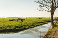 Some Cows In A Dutch Meadow In Autumnal Light. Stock Photo - 27704920