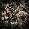 Chard Leaves On A Compost Heap Royalty Free Stock Images - 27724159