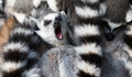 Ring-tailed Lemurs (Lemur Catta) Huddle Together Stock Image - 27728691