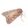 Bright-Line Brown-Eye Moth (Night Fly) Royalty Free Stock Image - 27744116