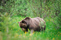 Wild Grizzly Bear Stock Image - 27747721