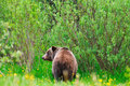 Wild Grizzly Bear Royalty Free Stock Photo - 27749135