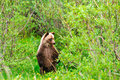 Wild Grizzly Bear Cub Stock Image - 27749341
