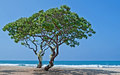 Two Heliotrope Trees On Tropical Beach Royalty Free Stock Photography - 27770297