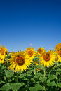 Field Of Sunflowers Stock Images - 2788464
