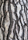 Bark Of Cedar Tree In The Forest Royalty Free Stock Images - 27803899