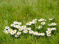 Blooming Chamomile Royalty Free Stock Photography - 27805167