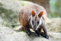 Wallaby Stock Images - 27816524
