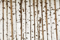 Birch Wood Texture Stock Photography - 27835962