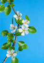 Pear Tree Flowers On Blue Sky Royalty Free Stock Photo - 27856475