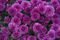 Purple Chrysanthemum Royalty Free Stock Image - 27859406