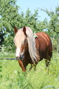 Palomino Draught Horse Eating Grass Stock Images - 27864254