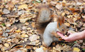 Squirrel Eats Nuts Royalty Free Stock Photography - 27868517