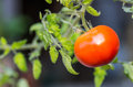 Red Ripe Tomato On The Vine Royalty Free Stock Photo - 27879765