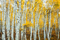 Stand Of Aspens Trunks Stock Photo - 27899140