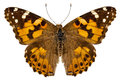 Butterfly Species Vanessa Cardui Stock Photography - 27904932