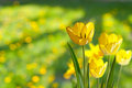 Yellow Tulips Royalty Free Stock Images - 27908959
